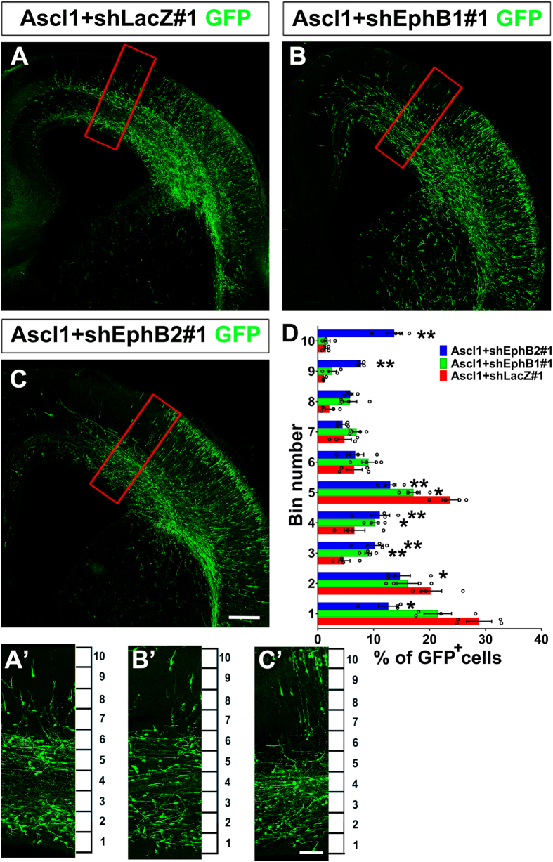 Knockdown of Ephb1 or Ephb2 disrupted tangential migration promoted by Ascl1. Four days after electroporation to the dorsal telencephalon, brains of E19.5 rats were dissected and sectioned in the coronal plane. Electroporated cells were labeled with anti-GFP in green. ( A'–C' ) are zoomed regions of ( A – C ) indicated by red squares, which were dorsomedial to the electroporated site. The cortex was divided equally into 10 bins. ( A ) In Ascl1 + shLacZ#1 group, many GFP positive cells were distributed in the VZ/SVZ (bins 1 and 2) and IZ (bin 5). ( B , C ) In Ascl1 + shEphB1#1 and Ascl1 + shEphB2#1 groups, GFP-positive cells were distributed in the VZ/SVZ (bins 1 and 2) and IZ (bin 5) were reduced. Length of the scale bar is 120 μm in ( A – C ), and 40 μm in ( A'–C' ). ( D ) Distribution of GFP-positive in the cortex. Only GFP-positive cells dorsomedial to the electroporated site were counted. Data were presented as mean ± SEM with all data points and analyzed by one-way ANOVA with Tukey's-HSD post hoc test, n = 4. * p