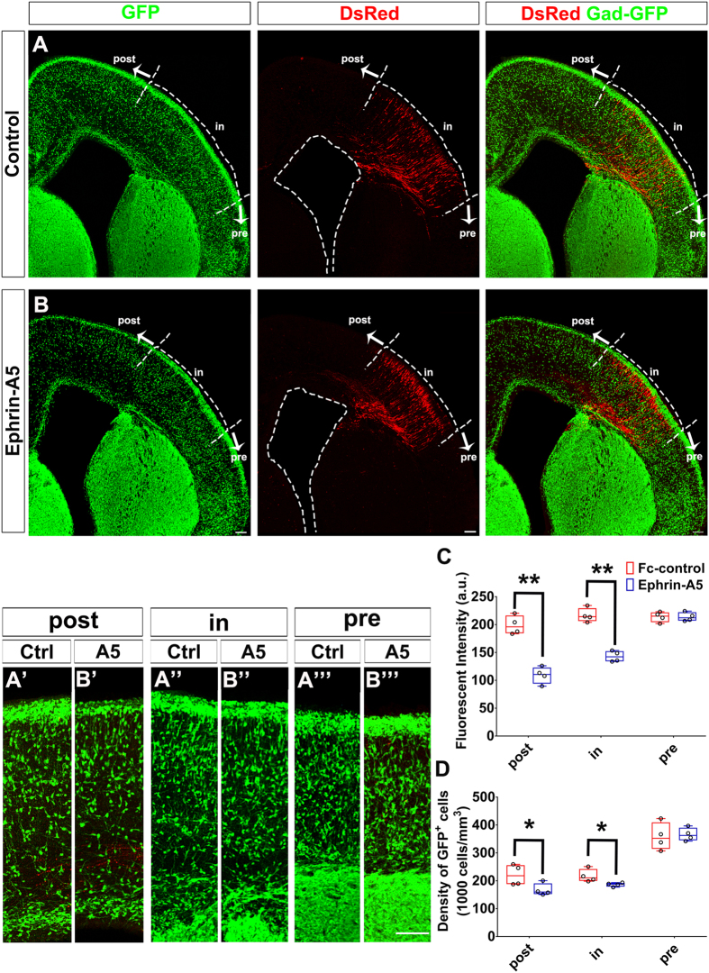 """Ephrin-A5 repulses cortical interneurons. Control (US2) or EfnA5 expression constructs were electroporated into the dorsal telencephalon together with a DsRed expression construct at E14.5 of Gad67-GFP mice. Brains were dissected four days after electroporation and sectioned coronally. ( A , B ) Confocal image of E18.5 mouse telencephalon. The cortex was divided into three regions: (A"""",B"""") the """"in"""" region that contained DsRed-positive cells; (A""""',B""""') the """"pre"""" region was ventrolateral to the """"in"""" region; (A',B') the """"post"""" region was dorsomedial to the """"in"""" region. ( A , B ) In Ephrin-A5 group, fewer GFP-positive cells were present in """"post"""" regions than those of the control group. Length of the scale bar is 100 μm. ( C ) Quantification of GFP fluorescent intensity in the MZ. ( D ) Quantification of GFP-positive cells in the CP, IZ and VZ/SVZ. A 200 μm wide cortical area in each region was selected for quantification. For the pre-DsRed, we selected the 200 μm wide cortical area 50 to 100 μm from the pre-/in-DsRed boundary. For the in-DsRed, we selected 50 to 100 μm from the in-/post-DsRed boundary. For the post-DsRed, we selected 50 to 100 μm from the in-/post-DsRed boundary. Data are presented as box and whisker plots and analyzed by using Student's t-test, n = 4. * p"""