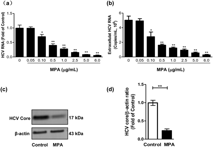 Inhibition of HCV replication by MPA treatment in Huh7 cells. Huh7 cells were infected with HCV JFH-1 at an MOI of 0.1. At day 3 postinfection, the infected cells were treated with MPA at indicated concentrations for 48 h. The cellular/extracellular RNA and cellular proteins were extracted for real-time RT PCR ( a , b ) and western blot analysis ( c , d ). ( a ) The levels of intracellular HCV RNA in MPA-treated or untreated control cells, with normalization to corresponding GAPDH mRNA level, are expressed as the fold of control (without MPA treatment, which was defined as 1). ( b ) The levels of extracellular HCV RNA in culture supernatants of MPA-treated or untreated control cells were measured and expressed as copies/mL. ( c ) The effect of MPA on HCV core expression in JFH-1 infected Huh7 cells. A representative western blot image shows the HCV core protein expression. ( d ) Quantitative assessment of HCV core protein expression in MPA-treated or untreated Huh7 cells. The densitometric intensities of HCV core and β-actin bands were quantified by image J software. The relative HCV core/β-actin ratios were calculated and shown as the fold of control (without MPA treatment, which was defined as 1). The data shown in Fig. 1a,b and d are the mean ± SD of the results of three independent experiments. The p value was calculated by Student's t -test (* p