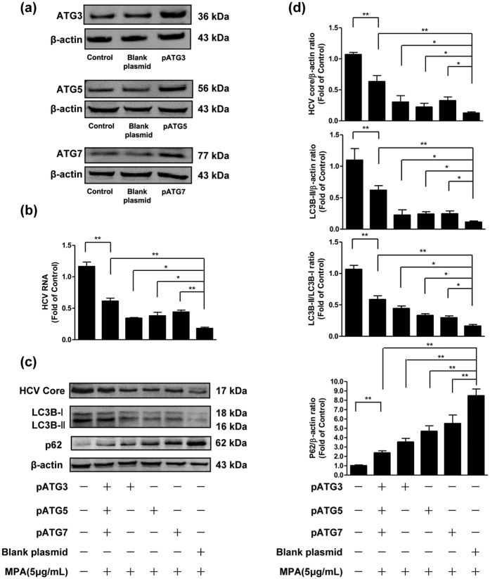 The effects of overexpression of ATG3, ATG5 or ATG7 on the inhibitory effect of MPA on HCV replication. Huh7 cells were infected with HCV JFH-1 at an MOI of 0.1. At day 3 postinfection, Huh7 cells were transfected with plasmids pCMV-myc-Atg3, pCMV-myc-Atg5 and/or pCMV-myc-Atg7, and the transfection maintained for 48 h. ( a ) Overexpression efficiency of pATG3, pATG5, and pATG7 were determined by western blot. ( b – d ) MPA (5 μg/mL) was added to cultures of plasmid-transfected cells and the treatment was maintained for 48 h. The cellular RNA and proteins were extracted for real-time RT-PCR and western blot analysis. ( b ) The effects of overexpression of ATG3, ATG5, ATG7 on HCV RNA expression. The levels of intracellular HCV RNA in Huh7 cells, with normalization to corresponding GAPDH mRNA level, are expressed as the fold of control (without MPA treatment/plasmid transfection, which was defined as 1). ( c ) A representative western blot image shows HCV core, LC3B-I, LC3B-II, p62 protein levels in Huh7 cells. ( d ) Quantitative assessment of HCV core, LC3B-II, LC3B-II/LC3B-I, p62 at protein level. The densitometric intensities of HCV core, LC3B-I, LC3B-II, p62, β-actin bands were quantified by image J software. The relative HCV core/β-actin, LC3B-II/β-actin, LC3B-II/LC3B-I, and p62/β-actin ratios were calculated and shown as the fold of control (without MPA treatment/plasmid transfection, which was defined as 1). The data shown in Fig. 6b,d are the mean ± SD of the results of three independent experiments. The p value was calculated by Student's t -test (* p
