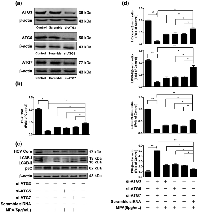 The effects of silencing expression of ATG3, ATG5 or ATG7 on the inhibitory effect of MPA on HCV replication. Huh7 cells were infected with HCV JFH-1 at an MOI of 0.1. At day 3 postinfection, Huh7 cells were transfected with specific siRNAs against ATG3, ATG5 or ATG7, and the transfection maintained for 48 h. ( a ) Silencing expression efficiency of si-ATG3, si-ATG5, and si-ATG7 were determined by western blot. ( b – d ) MPA (5 μg/mL) was added to cultures of siRNA-transfected cells and the treatment was maintained for 48 h. The cellular RNA and proteins were extracted for real-time RT-PCR and western blot analysis. ( b ) The effects of silencing expression of ATG3, ATG5, ATG7 on HCV RNA expression. The levels of intracellular HCV RNA in Huh7 cells, with normalization to corresponding GAPDH mRNA level, are expressed as the fold of control (without MPA treatment/siRNA transfection, which was defined as 1). ( c ) A representative western blot image shows HCV core, LC3B-I, LC3B-II, p62 protein levels in Huh7 cells. ( d ) Quantitative assessment of HCV core, LC3B-II, LC3B-II/LC3B-I, p62 at protein level. The densitometric intensities of HCV core, LC3B-I, LC3B-II, p62, β-actin bands were quantified by image J software. The relative HCV core/β-actin, LC3B-II/β-actin, LC3B-II/LC3B-I, and p62/β-actin ratios were calculated and shown as the fold of control (without MPA treatment/siRNA transfection, which was defined as 1). The data shown in Fig. 7b,d are the mean ± SD of the results of three independent experiments. The p value was calculated by Student's t -test (* p