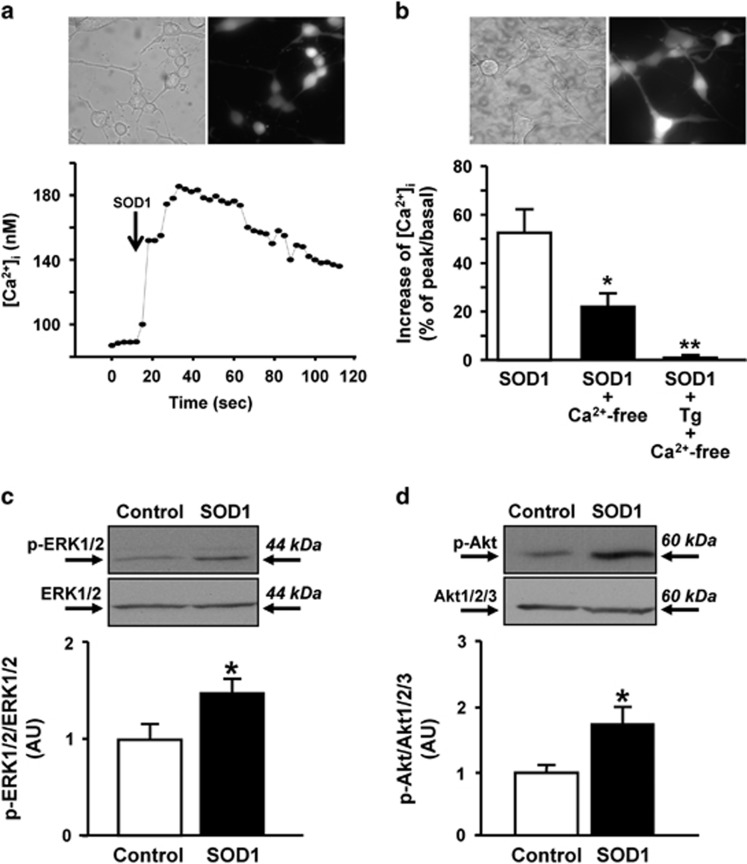 Effects of SOD1 on [Ca 2+ ] i and ERK1/2 and Akt phosphorylation in NSC-34 motor neurons. ( a and b ) (Top) Representative images of NSC-34 motor neurons loaded with Fura-2/AM in control conditions. (Bottom a ) Single-cell trace depicting [Ca 2+ ] i before and after SOD1 administration. (Bottom b ) Quantification of the effect of SOD1, SOD1 in Ca 2+ -free and SOD1 in Ca 2+ -free + thapsigargin (Tg) on [Ca 2+ ] i SOD1 significantly increases [Ca 2+ ] i . Data are expressed as mean±S.E. of three different experiments performed on 30/50 cells. * P