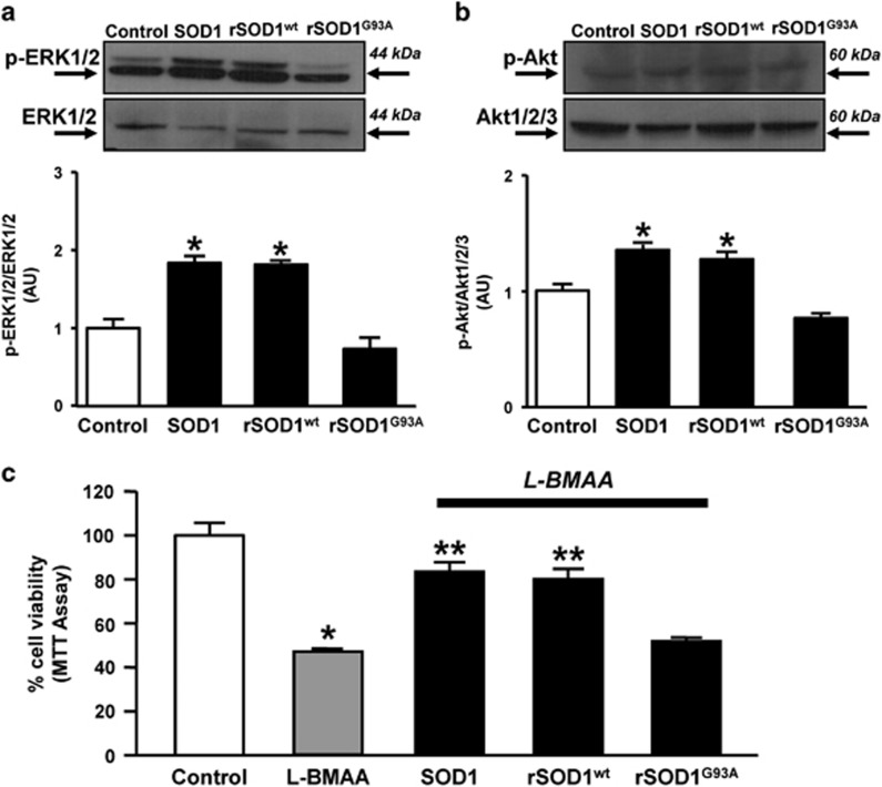 Effects of the recombinant SOD1 G93A on Akt/ERK1/2 signaling pathway and on cell survival in NSC-34 motor neurons exposed to L-BMAA. ( a ) Representative western blotting and quantification of the effect of SOD1, rSOD1 wt and rSOD1 G93A (400 ng/ml/10 min) on p-ERK1/2 and ERK1/2 expression. ( b ) Representative western blotting and quantification of the effect of SOD1, rSOD1 wt and rSOD1 G93A (400 ng/ml/10 min) on p-Akt and Akt1/2/3 expression. ( a and b ) Data are expressed as mean±SE of three different experimental sessions. * P