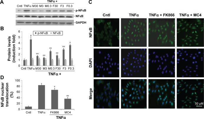 Effects of MC4 and FK866 on TNFα-induced phosphorylation of NFκB and translocation of NFκB from cytoplasm into the nucleus in <t>A549</t> cells. Notes: A549 cells (3×10 5 ) were starved for 2 h, then pretreated with indicated concentrations of MC4 or FK866 for 2 h, followed by indicated concentrations of MC4 (M) or FK866 (F) together with 50 ng/mL of TNFα treatment for 20 h. ( A ) Western blot analysis of the effects of MC4 and FK866 on TNFα-induced phosphorylation of NFκB. ( B ) Densitometry analysis of TNFα-induced expression of p-NFκB normalized with GAPDH and untreated controls. ( C ) Representative immunofluorescent images showing the effects of MC4 and FK866 on TNFα-stimulated translocation of NFκB. A549 cells were pretreated with 0.3 nM of either MC4 or FK866 for 2 h, then incubated with 20 ng/mL TNFα for 20 min. NFκB antibody was indirectly labeled with Alexa Fluor 488 secondary antibody (green), and cells were mounted with VECTASHIELD Mounting Medium with DAPI (blue). ( D ) Percentage of cells with nuclear translocation of NFκB. A total of 400–500 cells were counted from randomly selected microscope fields of each slide, and the percentage of cells with nuclear translocation of NFκB was calculated. Data are representative of three separate experiments. Bars are mean ± SD, # P