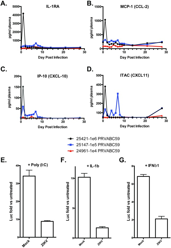 Rhesus cytokine and chemokine production in response to ZIKV infection and block of NF-kB signaling in Rhesus fibroblasts. A 29-plex-cytokine/chemokine/growth factor magnetic bead assay was performed on plasma from rhesus monkeys at all time points post infection. Cytokine analysis revealed changes in only A) IL-RA; B) MCP-1-CCL2; C) IP-10-CXCL10; and D) ITAC-CXCL11. Reporter assay showing induction of NF-κB-dependent (E, F) or interferon stimulated response element (ISRE)-dependent (G) LUC expression in fibroblasts infected for 56h with ZIKV at MOI = 5ffu/cell. Luminescence was measured 8h after treatment with 60μg/mL poly(I:C) (E) 100ng/mL human IL-1β (F) or 5,000 units/ml IFNβ1 (G). Values displayed are average fold changes (three replicates) of stimulated versus untreated cells ±SD.