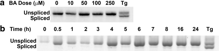 BA does not activate the IRE1 signaling pathway . a DU-145 cells were treated with 0, 10, 50, 100, or 250 μM BA or 1 μM thapsigargin (Tg) for 24 h. Thapsigargin was used as a positive control. Increasing BA concentrations for 24 h did not cause XBP1 cleavage. b DU-145 cells were treated with 10 μM BA for varying time points or 1 μM thapsigargin (Tg) as a positive control. XBP1 was not cleaved at any time point by BA, but it was by Tg ( p