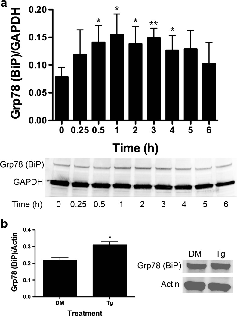 BA induces an increase in GRP78 (BiP) protein in DU-145 cells. a DU-145 cells were treated with 10 μM BA for 0, 0.25, 0.5, 1, 2, 3, 4, 5, and 6 h. GAPDH was used as an internal loading control. GRP78/BiP translation was increased 0.5 ( p = 0.028, n = 4), 1 ( p = 0.007, n = 4), 2 h ( p = 0.032, n = 4), and 3 h ( p = 0.013, n = 4). b DU-145 cells treated with 1 μM thapsigargin (Tg) or DMSO (DM) vehicle for 1 h ( p