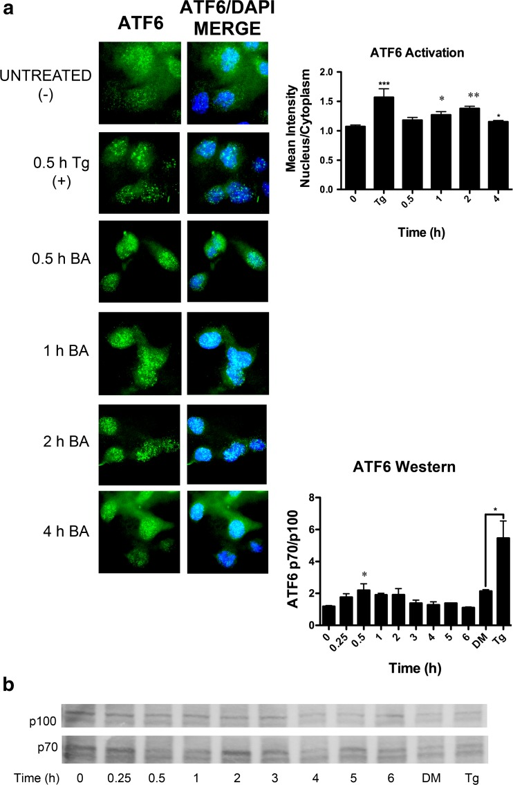 BA stimulates ATF6 activation and translocation to the nucleus. a ATF6 ( green ) was present in the nucleus ( blue ) of DU-145 cells 1 ( p = 0.026, n = 17) and 2 h ( p = 0.002, n = 48) post-treatment with 10 μM BA. b ATF6 is activated by cleavage. The proportion of the cleaved product (p70) to full length (p100) was significantly elevated 30 min post-treatment ( p = 0.032, n = 3). One micromole of thapsigargin (Tg) also significantly increased the p70/p100 ratio ( p