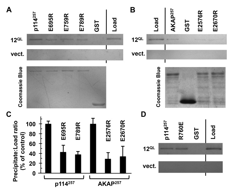 Conserved residues in AKAP-Lbc and p114RhoGEF participate in Gα12 binding. (A) Interaction of p114RhoGEF charge-reversal mutants with Gα12. The indicated mutants engineered in our GST-fused 257-amino acid region of p114RhoGEF were expressed in E. coli and immobilized on Sepharose. Concentrations of mutant p114RhoGEF proteins were adjusted so that approximately equal concentrations would be compared for ability to co-precipitate constitutively active Gα12 ( 12 QL ). For each sample, 20% of volume was analyzed by Coomassie Blue staining (lower image) to confirm uniform levels of immobilized p114RhoGEF variants. (B) AKAP-Lbc charge-reversal mutants were examined for Gα12 co-precipitation using the same procedure described for p114RhoGEF mutants. (C) For co-precipitations of Gα12, bands were quantified using ImageJ. Precipitate:load values for each mutant were calculated and presented as % of this value for non-mutated p114RhoGEF or AKAP-Lbc regions, which were set at 100%. Graphical data represent two or more independent experiments, with mean ± range shown. (D) Co-precipitation of Gα12 by an immobilized 257-residue p114RhoGEF construct harboring a charge-reversal of the Rgnef-homologous Arg residue ( R760E ). Images are representative of two independent experiments.