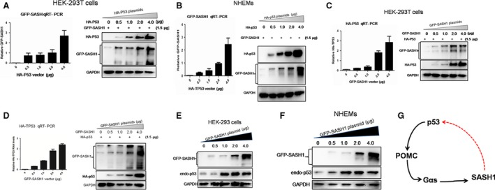Reciprocal induction between p53 and SASH 1 is induced in normal cells. ( A ) and ( B ) Exogenous p53 ( HA ‐p53) triggers exogenous SASH 1 expression in a dose‐dependent manner. HEK ‐293T cells and NHEM s were transfected with different amounts of HA‐p53 plasmid as indicated. Exogenous SASH 1 RNA levels were measured by quantitative RT ‐ PCR and normalized to GAPDH . Expression of exogenous p53 protein and SASH 1 was analysed by Western blot along with GAPDH as a loading control. ( C ) and ( D ) Exogenous SASH 1 promotes expression of exogenous p53. Different amounts of GFP‐SASH1 plasmid and a certain amount of exogenous p53 were transfected to HEK ‐293T cells and NHEM s cells and plasmid. Increasing amounts of GFP ‐ SASH 1 trigger expression of exogenous p53, as analysed by QRT ‐ PCR and Western blot. ( E ) and ( F ) Exogenous SASH 1 promotes expression of endogenous p53. Different amounts of exogenous SASH 1 were introduced to HEK ‐293T cells and NHEM s. After 36‐hr transfection, cells were lysed and subjected to Western blot to analyse the expression of GFP ‐ SASH 1 as GAPDH as loading control. Results are the representative of three independent results. ( G ) An autoregulatory p53/ POMC /Gαs/ SASH 1 loop mediates reciprocal induction of p53 and SASH 1. p53 after being activated by different types of stress triggers the expression of POMC , Gαs and SASH 1 successively. The induced SASH 1 by p53/ POMC /Gαs cascade promotes the up‐regulation p53 in nucleus, then induced nucleic p53 conversely activates POMC /Gαs/ SASH 1 cascade, which consists an autoregulatory p53/ POMC /Gαs/ SASH 1 loop.
