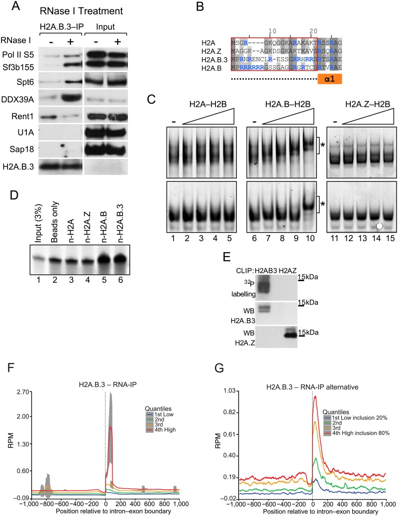 H2A.B.3 can bind RNA in vitro and in vivo . (a) Total cellular lysates were prepared from UV treated mouse testes and treated with RNase I or not. H2A.B.3 was then immunoprecipitated and the co-immunoprecipitated proteins were identified by western blotting with the indicated antibodies selected to detect proteins involved in different aspects of RNA synthesis, processing, and export. (b) Amino acid sequence alignment of the N-terminal region of histone H2A and the variants H2A.Z, H2A.B.3, and H2A.B. Compared to H2A, the N-terminus of H2A.B.3 and H2A.B are 6.3% and 23.5% identical, respectively. The red box demarcates the sequences corresponding to the N-terminal peptides used for the pulldown experiments in panel d, and corresponds to the unstructured region (dashed line) preceding the first alpha helix of H2A (α1; orange box). Arginine residues are highlighted in blue. (c) Histone dimer samples (0.6, 1.1, 2.3, 4.5 μM) were incubated with 20 ng in vitro transcribed RNA (222 nt and 152 nt, top and bottom panels, respectively) and analysed on 5% acrylamide 1X TB gels. The asterisk (*) denotes shifted bands corresponding to H2A.B—H2B-RNA complexes. (d) An RNA pulldown assay using biotinylated histone N-terminal peptides (n-H2A, n-H2A.Z, n-H2A.B and n-H2A.B; 130 pmol). Samples were run on 15% TBE-Urea gels, along with input RNA (5 pmol; 3% of total input) for comparison. (e) CLIP assays demonstrating that H2A.B.3 but not H2A.Z directly interacts with RNA in germ cells. Also show is the western blot analysis of the immunoprecipitated H2A.B.3 and H2A.Z. Following the RNA—IP procedure (see Methods ), cells isolated from 28–30 day old testes were UV crosslinked, the chromatin sheared and following the immunopurification of H2A.B.3-containing chromatin fragments, the released RNA was sequenced to yield 100 base pair paired end reads. (f) H2A.B.3 RNA plot ranked according to expression aligned with all intron—exon boundaries. (g) A H2A.B.3 RNA plot ranked according to the level of exon inclusion (20 to 80%) aligned with the intron—exon boundary of alternatively spliced exons.
