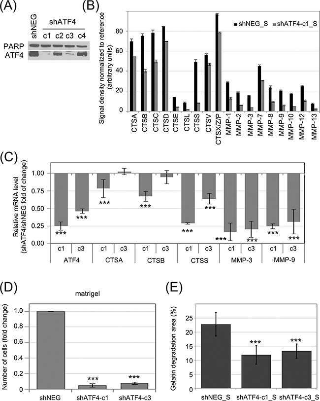Influence of ATF4 on protease secretion and invasive potential of CML cells and stromal fibroblasts ATF4 was depleted in K562 cells by viral transduction of 4 different clones of shRNA specific to ATF4 (shATF4-c1 – c4); Non-targeting shRNA (shNEG) was used as control A. ATF4 protein level was quantified in whole cell lysates by immunoblot; PARP was used as loading control. B. Protease abundance was measured by antibody array in serum-free conditioned media from cultures of K562 expressing shATF4 (shATF4-c1_S) and control shRNA (shNEG_S). Signal density was analyzed using Image J software and normalized to reference. Graphs are mean protein level ± SEM for n=3 independent samples C. Level of mRNA of selected enzymes was measured by real-time RT-PCR and is shown as mean fold change between K562 cells expressing shATF4-c1 or shATF4-c3 and shNEG ± SEM for n=3 independent samples D. Matrigel invasion of K562 expressing the indicated shRNA constructs was measured using the transwell assay, as in Fig. 2B ; n=3 independent experiments E. Gelatin degradation by HS-5 cells cultured in shATF4-c1_S or shATF4-c3_S and shNEG_S was measured as in Fig. 3E ; n=3. ***p