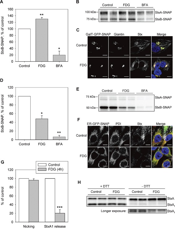 FDG inhibits Stx transport to the ER and the release of StxA 1 A and B. HEp-2-GalT-GFP-SNAP cells were treated with 1 mM FDG for 4 h, or with 2 μg/ml BFA for 30 min prior to incubation with 125 I-Stx1-mut-BG for 1 h in the presence of the drugs. Cells were lysed, and Stx-SNAP was immunoprecipitated and run on SDS-PAGE. (A) The quantification of StxBbound to SNAP-tag. A representative autoradiogram is shown in (B). C. HEp-2-GalT-GFP-SNAP cells were treated with FDG as in (A) and (B) prior to incubation with Stx1-mut-BG-Alexa555. The cells were fixed, permeabilized and immunolabeled for giantin, prior to mounting with Prolong®Gold with DAPI, and imaged. The overlay image shows GalT-GFP-SNAP signal in green, giantin in red, Stx in grey and DAPI in blue. Scale bar, 10 μm. D and E. HEp2-ER-GFP-SNAP cells were treated as in (A) and (B) prior to incubation with 125 I-Stx1-mut-BG for 5 h. Cells were lysed and Stx-SNAP was immunoprecipitated and run on SDS-PAGE. (D) The quantification of StxB bound to SNAP-tag. A representative autoradiogram is shown in (E). F. HEp-2-ER-GFP-SNAP cells were treated with FDG as in (A) and (B), and incubated with Stx1-mut-BG-Alexa555 for 1 h, followed by 4 h incubation with fresh medium. Cells were fixed, permeabilized and immunolabeled for PDI, prior to mounting with Prolong®Gold with DAPI, and imaged. The overlay image shows ER-GFP-SNAP signal in green, PDI in red, Stx in grey and DAPI in blue. Scale bar, 10 μm. G and H. HEp-2 cells were treated with 1 mM FDG for 4 h prior to incubation with 125 I-Stx1-mut for 5 h at 37°C. Cell lysates were separated by reducing (+DTT) or non-reducing (−DTT) SDS-PAGE to determine the nicking of StxA or StxA 1 release, respectively. A representative autoradiogram is shown in (H). The amount of released or nicked StxA 1 was calculated as a percentage of total Stx (the sum of StxA and StxA 1 ). (A), (D) and (G) show mean +SEM from at least three independent experiments; *p