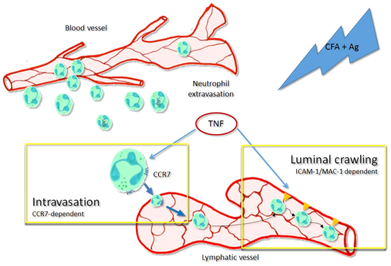 Schematic diagram illustrating the dual mechanisms of action of TNFα leading to the trafficking of neutrophils into and within the lymphatic vasculature upon acute inflammation in vivo . During the acute inflammatory response of the tissue following antigen sensitisation, endogenous TNFα release primed the freshly recruited neutrophils. This cytokine allow these leukocytes to be attracted to the lymphatic vessels in a CCR7 dependent manner (intravasation). Furthermore, endogenous TNFα also stimulate the lymphatic endothelium to express ICAM-1 on their surface, allowing the neutrophils present in the lymphatic vessels to adhere and crawl along the luminal side in the correct direction toward the flow of the vessel.