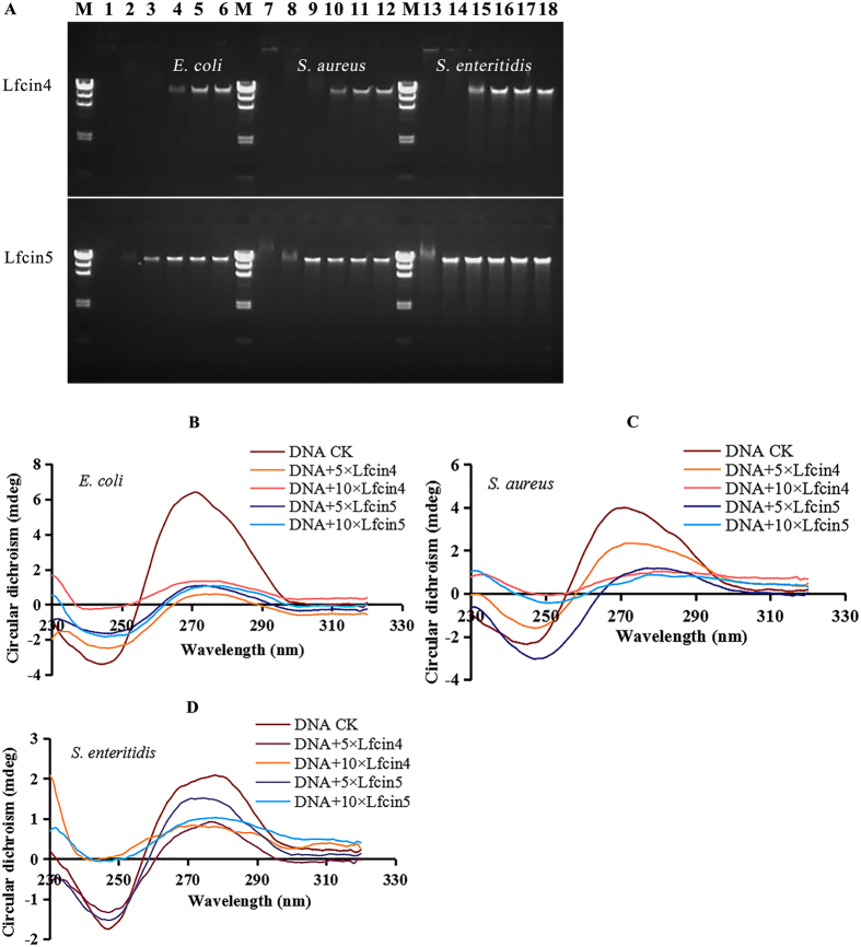 In vitro binding of Lfcin4 and Lfcin5 to bacterial genomic DNA. (A) Gel retardation analysis of the binding of Lfcin4 and Lfcin5 to genomic DNA. M: DNA marker λDNA/ Hind III. Lanes 1–6: genomic DNA from E. coli CICC21530; Lanes 7–12: genomic DNA from S. aureus ATCC25923; Lanes 13–18: genomic DNA from S. enteritidis CVCC3377. The mass ratios of peptide to genomic DNA were 10, 5, 2.5, 1, 0.5, and 0. Full-length gels are presented in Supplementary Figure S2 . (B–D) CD spectra of genomic DNA from E. coli CICC21530 (B) , S. aureus ATCC25923 (C) and S. enteritidis CVCC3377 (D) in the presence of Lfcin4 and Lfcin5. The mass ratios of peptide to DNA were 5 and 10.