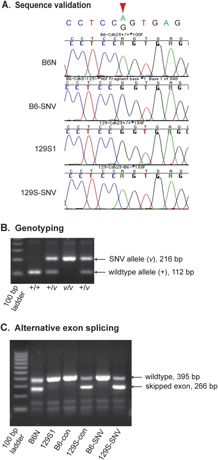 DNA sequence validation, PCR identification of targeted SNVs and assessment of exon skpping. ( A ) Sequence chromatograms of PCR amplified DNA surrounding the targeted Cdh23 c.753 nucleotide (indicated by the red downward-pointing arrow) confirm that C57BL/6 NJ (B6N) and 129S- Cdh23 c.753A (129S-SNV) mice are homozygous for the Cdh23 c.753 A nucleotide, while 129S1/SvImJ (129S1) and B6N- Cdh23 c.753G (B6N-SNV) mice are homozygous for the Cdh23 c.753 G nucleotide. ( B ) Identification of Cdh23 alleles with targeted SNVs by PCR amplification of the closely linked PGK-Neo insertion remnant. Primers flanking the PGK-Neo cassette insertion site were used to amplify PCR products that differ in size between the wildtype allele and the targeted SNV allele, which retains an intronic 104 bp remnant of the PGK-Neo cassette after Cre deletion. Because of its close proximity (178 bp) to the targeted SNV, the presence or absence of the PGK-Neo remnant can be used to distinguish the wildtype allele (+, 112 bp) from the targeted SNV allele ( v , 216 bp). Lane 1, 100-bp DNA size ladder; lanes 2–5, genotypes of individual mice. ( C ) RT-PCR to evaluate the extent of exon skipping related to the Cdh23 c.753A variant. cDNA primers flanking the alternatively spliced exon of Cdh23 (containing the c.753 nucleotide) were used to amplify alternatively spliced products. The PCR product size from the wild-type Cdh23 transcript (395 bp) is larger than the PCR product from the alternatively spliced, in-frame transcript (266 bp), which lacks the 129 bp skipped exon. Lane 1, 100-bp DNA size ladder; lane 2, B6N; lane 3, 129S1; lane 4, B6.129S1- Cdh23 Ahl + congenic (B6-con); lane 5, 129S1.B6- Cdh23 ahl congenic (129S-con); lane 6, B6- Cdh23 c.753G SNV (B6-SNV); and lane 7, 129S- Cdh23 c.753A SNV (129S-SNV). Lanes 2, 5, and 7 show alternatively spliced transcripts caused by the Cdh23 c.753A variant.