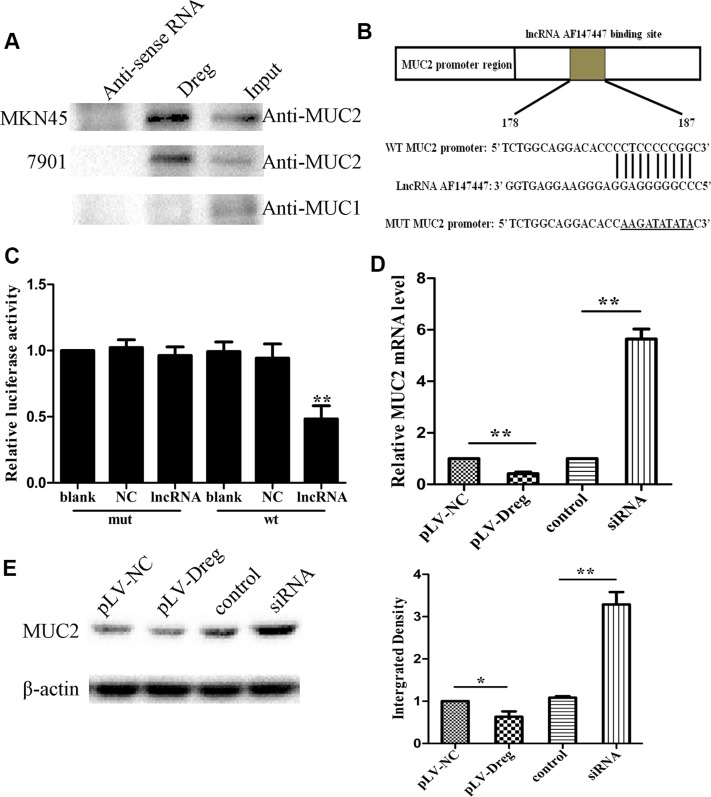 Identification and validation of lncRNA-AF147447 targets ( A ) Biotinylated lncRNA-AF147447 or antisense RNA were incubated with nuclear extracts, targeted with streptavidin beads, and washed, and associated proteins were resolved in a gel. Western blotting analysis of the specific association of MUC2 and lncRNA-AF147447. Another MUC family: MUC1 is shown as a control. ( B ) Diagram of MUC2 promoter region constructs. ( C ) Luciferase reporter assays in 7901 cells, with co-transfection of wt or mt and lncRNA as indicated. ( D ) MUC2 expression was validated by qRT-PCR after transfecting with pLV-AF147447 or siRNA or their respective controls. ( E ) MUC2 expression was validated by western blot after transfecting with pLV-AF147447 or siRNA or their respective controls. (* p