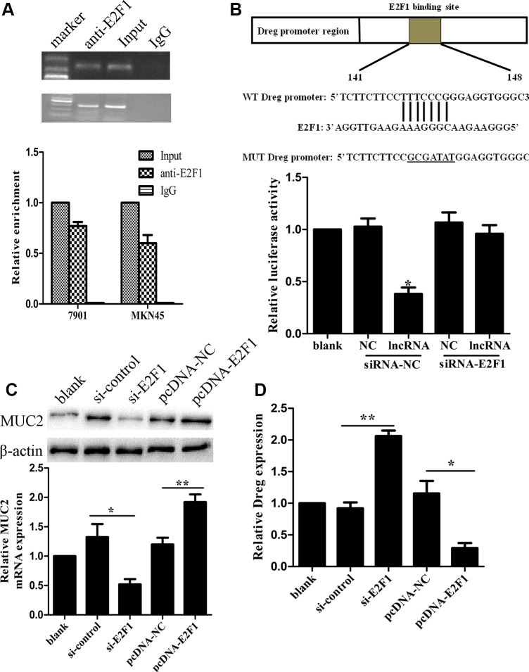 LncRNA AF147447 physically associates with E2F1 ( A ) RIP experiments were performed using the E2F1 antibody to immunoprecipitate (IP) and a primer to detect lncRNA-AF147447. RIP enrichment was determined as RNA associated with E2F1 IP relative to an input control. ( B ) Diagram of lncRNA-AF147447 promoter region constructs. Luciferase reporter assays in 7901 cells, with co-transfection of lncRNA-AF147447, with siRNA-E2F1 or siRNA-control. ( C ) LncRNA-AF147447 expression was detected by qRT-PCR after cells transfecting with si-E2F1 or pcDNA-E2F1. ( D ) MUC2 mRNA and protein were detected by qRT-PCR and western blot. (* p