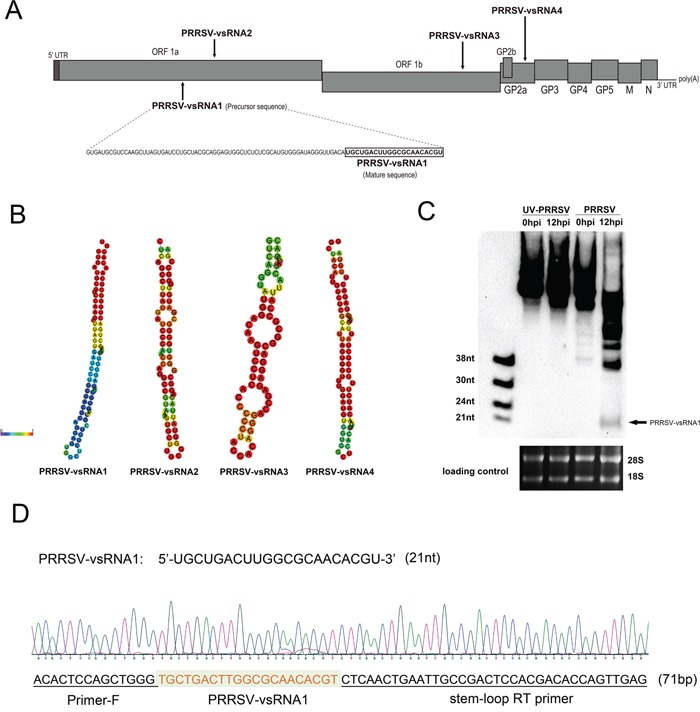Prediction and identification of PRRSV-encoded miRNA A. Schematic diagram of predicted miRNAs in the PRRSV (GD-HD strain) viral genome RNA. B. Secondary structure of precursors to PRRSV-vsRNA1-4. C. PRRSV-vsRNA1 (black arrow) in mock- or PRRSV-infected PAM cells were detected with digoxigenin-labeled probes containing oligonucleotides complementary to PRRSV-vsRNA1. The 28S and 18S RNA bands stained with ethidium bromide are displayed to demonstrate equal loading. D. Cloning validation of the predicted PRRSV-vsRNA1 in PRRSV-infected PAM cells. Sequencing results for the PRRSV-vsRNA1 and primer sequences are underlined in the sequence maps.