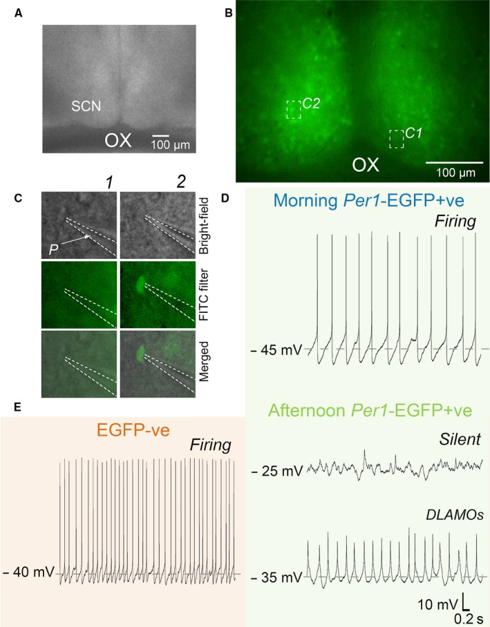 <t>Whole‐cell</t> targeting of Per1 ‐ EGFP +ve and EGFP ‐ve neurons in a living SCN slice. (A) Recording setup showing bright‐field image (4 ×) of a living coronal SCN slice (250 μm thick) taken at the mid‐rostro‐caudal level. (B) Image of Per1 ‐ EGFP +ve fluorescence signal (20 ×) taken from the slice shown in (A) with a FITC (488 nm, optimum for EGFP ) filter. Insets C1 and C2 are representative photomicrographs showing <t>patch</t> pipette targeting of EGFP −ve ( C1 , follow vertically) or Per1 ‐ EGFP +ve ( C2 ) neurons (40 ×) in the slice shown in A and B. Insets rows show bright‐field, fluorescence ( FITC ), and merged bright‐field and fluorescence images. (D and E) Spontaneous membrane excitability states of Per1 ‐ EGFP +ve (D) and EGFP −ve (E) SCN neurons over the day. (D) Example of typical <t>current‐clamp</t> traces from Per1 ‐ EGFP +ve SCN neurons recorded in the morning ( ZT 2–5) and afternoon ( ZT 6–10). Note that Per1 ‐ EGFP +ve neurons recorded in the morning are at moderate resting membrane potential ( RMP : ~ −45 mV ) and discharging action potentials ( AP s), while in the afternoon they become hyperexcited with RMP s of −25 to −35 mV and unable to generate AP s. These cells are either silent or generating depolarized low‐amplitude membrane oscillations ( DLAMO s). By contrast, EGFP −ve neurons (E) remain at moderate RMP throughout the day, firing AP s. Dashed lines in C indicate the outline of the patch pipette. SCN , suprachiasmatic nuclei; OX , optic chiasm; P , patch pipette. [Colour figure can be viewed at wileyonlinelibrary.com ].
