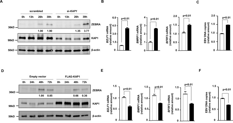 Cellular <t>KAP1</t> regulates EBV lytic cycle in Burkitt Lymphoma cells. A-C. HH514-16 Burkitt lymphoma (BL) cells were transfected with scrambled <t>siRNA</t> (non-targeting control; open bars in B, C) or siRNA to KAP1 (black bars in B, C); D-F. BL cells were transfected with empty vector (open bars in E, F) or pFLAG-CMV2-KAP1 (black bars in E, F). Transfected cells were treated with NaB 24 hours after transfection, and harvested at indicated times (A, D), 24 hours (B, E), or 48 hours (C, F) post-treatment to determine relative amounts of ZEBRA, KAP1 and β-actin by immunoblotting (A, D), relative levels of transcripts from EBV lytic genes BZLF1 , BMRF1 and BFRF3 by qRT-PCR after normalization to 18S rRNA using the ΔΔC T method (B, E), and relative levels of cell-associated EBV DNA by qPCR (C, F). Error bars: SEM of 3 experiments with 4 technical replicates. Western blots are representative of 2 experiments. Numbers below blots indicate relative amounts of protein after normalization to β-actin.
