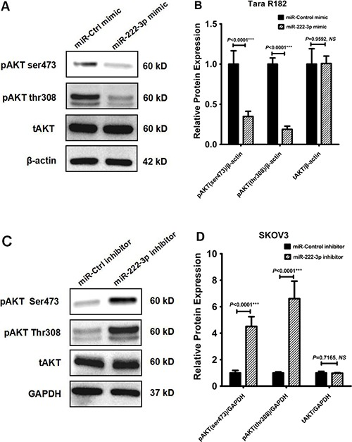 MiR-222-3p overexpression reduces ovarian cancer cell proliferation by inhibiting phosphorylation of AKT ( A ) Tara R182 cell line was transfected with miR-222-3p mimic, Western blot analysis of AKT phosphorylation levels at both Ser473- and Thr308- residues and total AKT were detected. Expression of β-actin was used as a loading control. ( B ) The relative expressions of GNAI2, pAKT (ser473), pAKT (thr308) and total AKT proteins were normalized to β-actin. ( C ) SKOV3 cells were transfected with miR-222-3p inhibitor, Western blot analysis of AKT phosphorylation levels at both Ser473- and Thr308- residues and total AKT were detected. Expression of GAPDH was used as a loading control. ( D ) The relative expressions of GNAI2, pAKT (ser473), pAKT (thr308) and total AKT proteins were normalized to GAPDH.