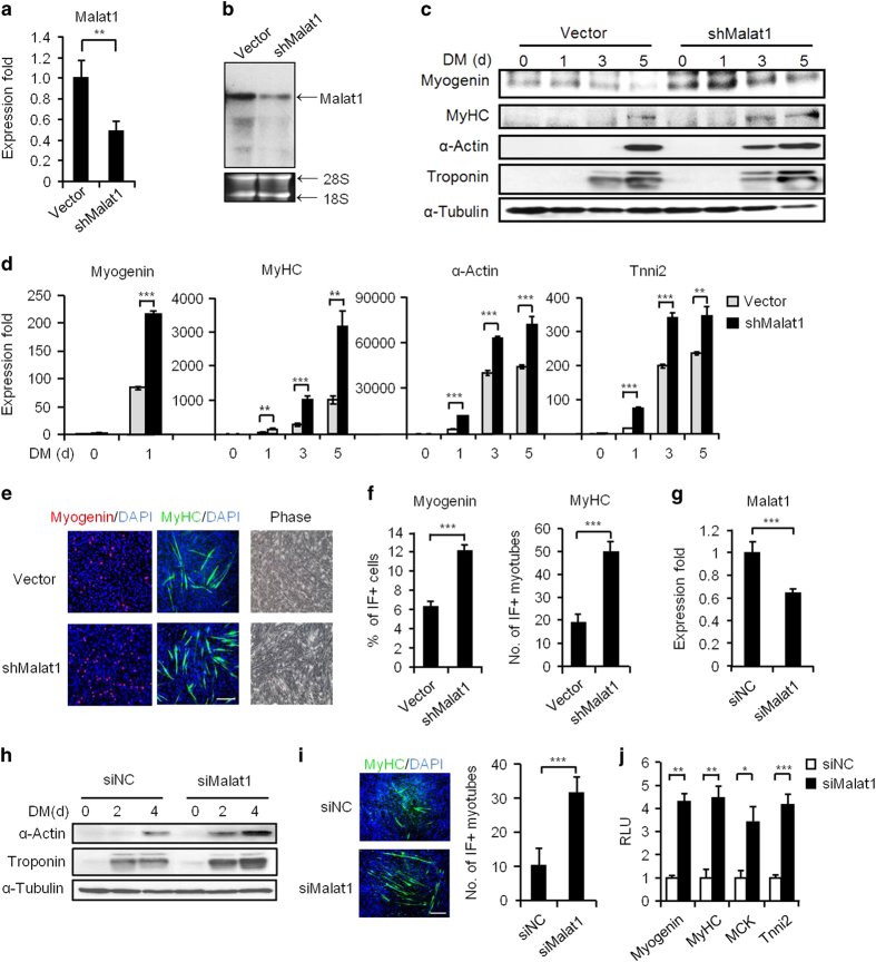 Malat1 functions to repress myoblast differentiation. ( a , b ) The knockdown of Malat1 in C2C12 cells by a stably expressed shRNA oligo was confirmed by qRT-PCR ( a ) and northern blotting in proliferating myoblasts ( b ). ( c ) The knockdown of Malat1 increased the levels of the indicated myogenic genes, Myogenin, MyHC, α-Actin and Troponin at protein level during a 5-day differentiation course. ( d ) The knockdown of Malat1 increased the above myogenic genes at mRNA levels. ( e ) The above cells were visualized on day 2 in DM (phase images). IF staining for Myogenin or MyHC was performed on day 1 and day 3 in DM, respectively. ( f ) The number of positively stained cells was counted from at least 10 fields. ( g ) The knockdown of Malat1 by a siRNA oligo was confirmed by qRT-PCR on day 2 post transfection. ( h ) The above knockdown increased the levels of the indicated myogenic genes α-Actin and Troponin at the protein level during a 4-day differentiation course. ( i ) The above si Malat1 transfection also increased the number of MyHC-positive cells by IF staining on day 2 in DM. ( j ) The knockdown of Malat1 in C2C12 cells increased the luciferase activities of the indicated myogenic reporters on day 2 in DM. RLU, relative luciferase unit. All PCR data were normalized to GAPDH mRNA and represent the average of three independent experiments±s.d. All luciferase data were normalized to Renilla luciferase activities and represent the average of three independent experiments±s.d. * P