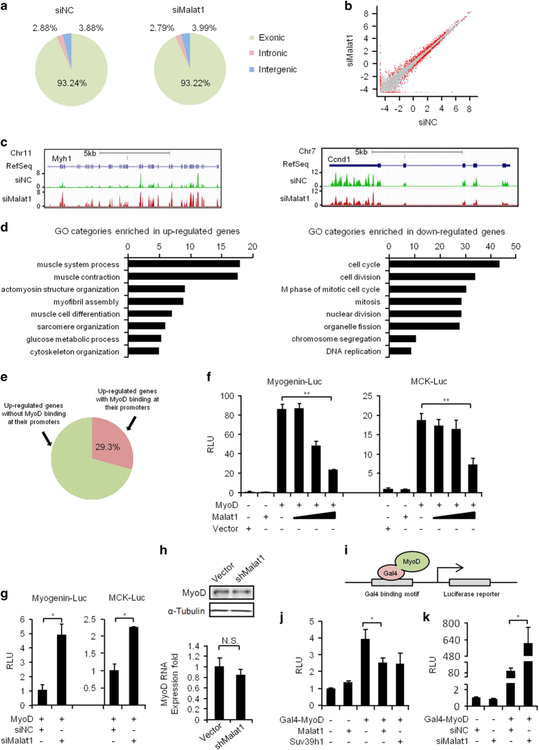 Malat1 modulates the transcriptional activity of MyoD. ( a ) RNAs with PolyA tails (PolyA + RNAs) were isolated from C2C12 cells transfected with siNC or si Malat1 oligos and differentiated for 2 days and subjected to RNA-seq for transcriptomic analysis. The normalized fragment density was calculated by counting the fragments per kilobase of genomic regions of interests (exonic, intronic and intergenic) per million mapped reads (FPKM). ( b ) Differentially expressed genes between siNC ( x axis) and si Malat1 ( y axis) cells were determined from the above RNA-seq data and shown as red dots in the scatter plot. Gray dots represent genes unaffected by si Malat1 treatment. ( c ) Genomic snapshots showing an example of significantly up- ( Myh1 , left) or down- ( Ccnd1 , right) regulated genes by si Malat1 treatment. The y axis is the normalized signal density. ( d ) GO analysis of genes that were up- or downregulated in si Malat1 cells. The y axis shows GO terms and the x axis shows statistical significance (that is, −log (p), multicorrected P -values) for the top eight enriched terms. ( e ) A high percentage (29.3%; in red color) of the above upregulated genes contain a MyoD-binding site at their promoter regions based on the analysis of MyoD ChIP-seq data from C2C12 cells. ( f ) 10T1/2 cells were co-transfected with a Myogenin or MCK luciferase reporter, a MyoD expression plasmid (0.5 μg) and a Malat1 expression plasmid (0, 0.125, 0.25 or 0.5 μg). Luciferase activities were measured after differentiating the cells for 48 h. ( g ) 10T1/2 cells were transfected with the indicated reporter, the MyoD plasmid and the siRNAs against Malat1 or negative control (siNC) oligos. Luciferase activities were measured after differentiating the cells for 48 h. ( h ) Knockdown of Malat1 did not affect the expression of MyoD at protein (upper, western blotting) or RNA (bottom, qRT-PCR) level. ( i ) Schematic illustration of the Gal4-MyoD reporter system. A Gal4-binding motif is fused to