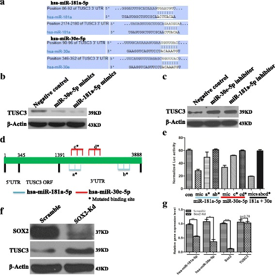 SOX2 modulates the expression of TUSC3 through miR-181a-5p and miR-30e-5p. a The sequence of the potential binding sites for miR-181a-5p and miR-30e-5p in the 3'-UTR of TUSC3. The sites are conserved in human and rodents. b The expression of TUSC3 is repressed by miR-181a-5p and miR-30e-5p mimics as measured by Western blot analysis. c The application of specific inhibitors against miR-181a-5p and miR-30e-5p increases the expression of TUSC3 in ZR7530 cells. d Schematic diagram of the binding sites for miR-181a-5p and miR-30e-5p in 3'-UTR of TUSC transcript. Mutated binding sites ( star ) were linked with <t>Luciferase</t> <t>reporter</t> (pMIR-Report-Luc). e Mutations of the potential binding sites for miR-181a-5p and miR-30e-5p lead to increased luciferase <t>activities</t> of TUSC3 reporter. Co-transfection of negative mimics and pMIR-Report-Luc-TUSC3-3UTR-WT construct is used as control (Con). Mic indicates miR-181a-5p or miR-30e-5p mimics. Mics indicates mixture of miR-181a-5p and miR-30e-5p mimics, ab* indicates both of a* and b* potential bindings sites are mutated, cd* indicates both of c* and d* potential bindings sites are mutated, and abcd* indicates all four potential bindings sites are mutated. f SOX2 knockdown leads to increased protein levels of TUSC3. g In xenograft initiated by ZR7530 cells, SOX2 knockdown leads to reduced expression of miR-181a-5p and miR-30e-5p, but not the expression of TUSC3 mRNA. The transcript levels were measured by examining RNA expression in three individual tumour nodules in each group. * indicates p