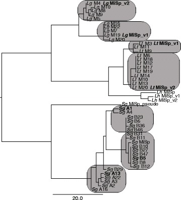 "Neighbor joining tree for N-terminal MiSp encoding sequences demonstrates variation within and among species. Variants are shown for L. hesperus ( Lh ) and TOPO clones from L. tredecimguttatus ( Lt ), L. geometricus ( Lg ), and S. grossa ( Sg ). Units are number of substitutions. Latrodectus clones are arbitrarily numbered, except that Lt M1-7 and Lg M1-5 resulted from amplification with primers designed from L. hesperus , while higher clone numbers resulted from amplification with species-specific primers. S. grossa TOPO clones resulted from two separate PCR reactions, which are indicated here as ""A#"" and ""B#"". Completely sequenced clones are indicated by bolded names. See Table 1 and Additional file 1 : Table S4 for accession numbers. Boxes indicate distinct clusters identified in neighbor joining trees based on N-terminal sequences including adjacent repetitive sequences and in C-terminal and adjacent repetitive region encoding sequences (Additional file 1 : Figures S2 and S3)"