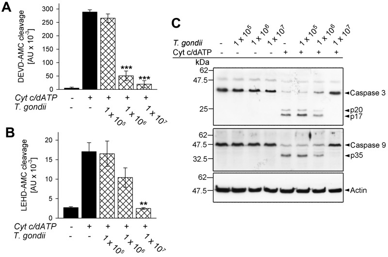 FIGURE 1: T. gondii inhibits cytochrome c -induced activation of the caspase 9-caspase3/7 cascade in cell-free cytosolic extracts. (A, B) Cell-free cytosolic extracts of Jurkat cells were incubated with increasing amounts of parasites as indicated (cross-hatched bars; no. of parasites per 0.1 ml) or were left untreated (black bars). After 1 hour, caspase activation was triggered or not by cytochrome c and dATP. Cleavage of the caspase 3/7 substrate <t>DEVD-AMC</t> (A) or of the caspase 9 substrate <t>LEHD-AMC</t> (B) was measured fluorimetrically. Data represent the increase in substrate cleavage over time; they represent means ± S.E.M. from at least 3 independent experiments. Significant differences were identified by Student's t -test (** P