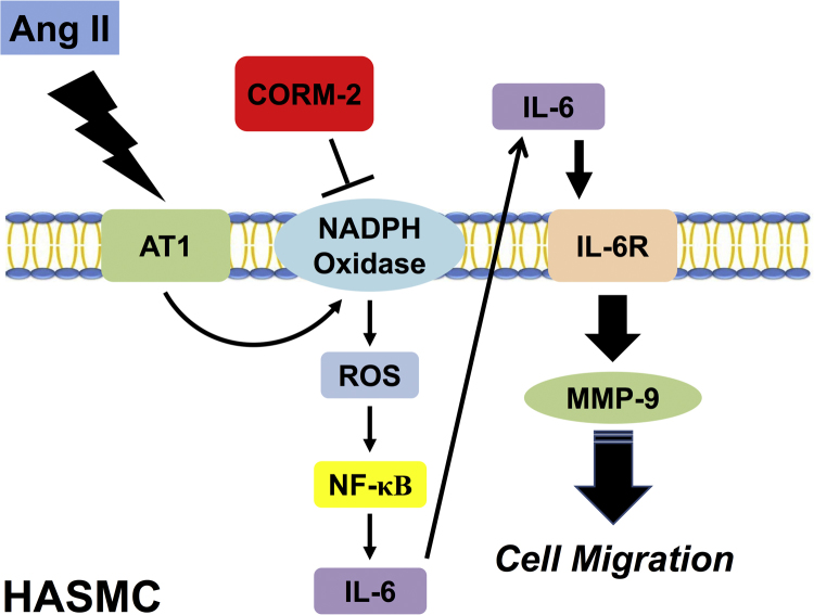 Schematic diagram illustrating the proposed signaling pathway involved in Ang II-induced AT1R/IL-6/MMP-9-dependent cell migration. In HASMCs, Ang II induces MMP-9 expression via the AT1R/NADPH oxidase/ROS/NF-κB/IL-6 pathway. Moreover, CORM-2 can inhibit cell migration via inhibition of the activation of AT1R/NADPH oxidase/ROS/NF-κB/IL-6/IL-6R/MMP-9.