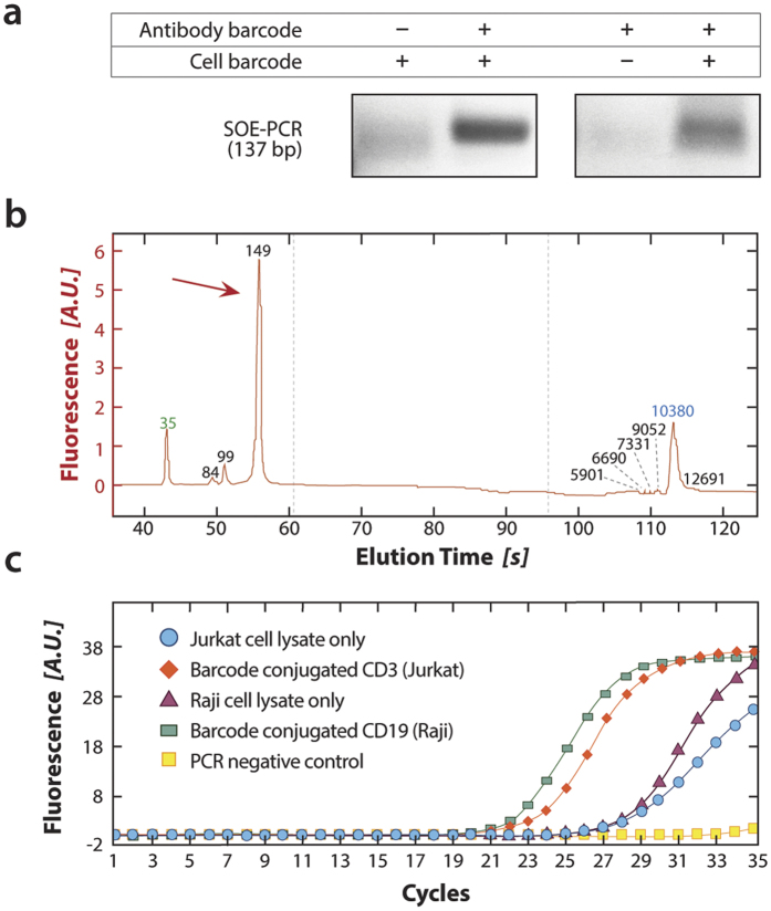 Bulk validation of SOE-PCR linkage of antibody and cell barcode sequences. ( a ) Generation of SOE-PCR product depends on the presence of both antibody tag and cell barcode sequences, as demonstrated on a 1% agarose gel stained with SYBR green. ( b ) The SOE-PCR product is pure, yielding a sharp peak on a Bioanalyzer at the anticipated molecular weight. ( c ) For Abseq to provide quantitative results, the number of SOE-PCR products must be in proportion to the number of antibody tag sequences bound to the cell, which we validate by quantitative PCR. When the appropriate antibody is used, amplification occurs early, indicating presence of much SOE-PCR product (green and red). When no or the incorrect antibody is used, amplification occurs late, indicating little SOE-PCR product.