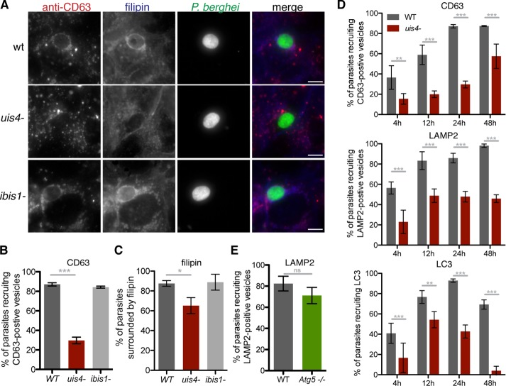 UIS4 is required for maximal host LE and cholesterol recruitment to developing liver-stage P. berghei parasites. (A–C) Huh7 cells infected with GFP-expressing wild-type (WT), uis4 − , or ibis1 − parasites were fixed 24 h postinfection and stained with <t>filipin</t> (blue) and antibodies against CD63 (red) and GFP (green). Scale bars, 10 μm. (D) Huh7 cells were infected with P. berghei WT or mutant sporozoites, and infection was left to proceed until the indicated time points. Samples were stained with anti-GFP (parasite) and either anti-CD63 (LE/lysosomes; (top), anti-LAMP2 (LE/lysosomes; middle), or anti-LC3 (autophagic bodies; bottom). (E) WT and Atg5 −/− MEFs infected with P. berghei sporozoites were fixed 24 h postinfection and stained with antibodies against Pb Hsp70 (parasite) and LAMP2 (LE/lysosomes). At least 50 parasites per well were scored for host marker recruitment. Results are shown as a mean percentage of total parasites analyzed per well (±SD). One representative experiment of three performed is shown. ns, not significant; * p