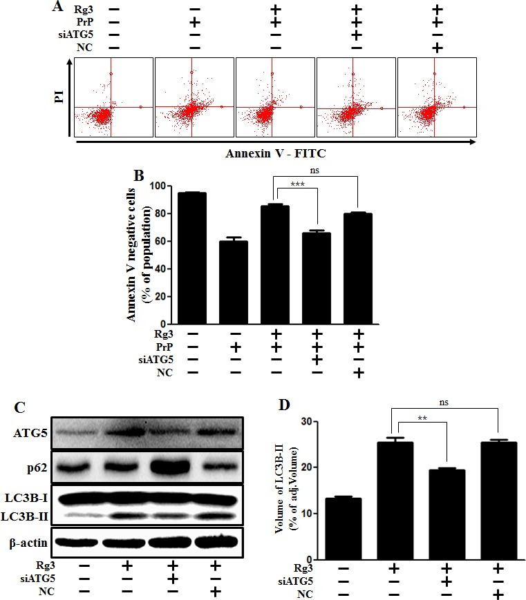 ATG5 knockdown decreases Rg3-mediated neuroprotective effect ( A ) ATG5 small interfering RNA (siATG5) or negative control siRNA (NC)-transfected SK-N-SH cells were incubated with PrP (106-126) for 12 h in the presence of Rg3. Cell viability was determined with Annexin V assay. ( B ) Bar graph indicating the averages of annexin V-negative cells. ( C ) Western blot analysis for ATG5 and LC3B production in SK-N-SH cells. Beta-actin was used as a loading control. ( D ) Bar graph indicating the averages of LC3B-II expression levels. ** p