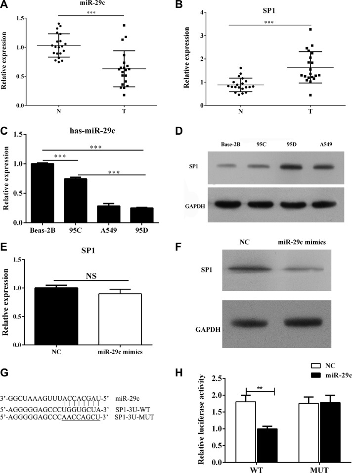 MiR-29c targets Sp1 and is down-regulated in high-metastatic lung cancer cell lines ( A – B ) The level of miR-29c and Sp1 in lung cancer tissues and ( C – D ) cell lines including BEAS-2B, the paired low-metastatic 95C and high-metastatic 95D and A549 were determined by Q-PCR and Western blotting. 95C cell line was transfected with miR-29c mimics or negative control. ( E – F ) the mRNA and protein level of Sp1 were determined. ( G – H ) The luciferase reporter was performed to confirm the direct target sites. ** p