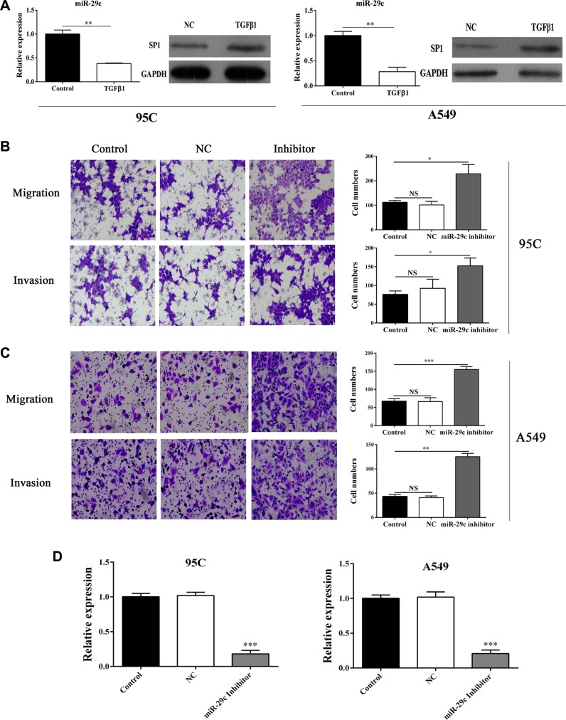 Inhibition of miR-29c significantly elevates the migration and invasion ( A ) The expression of mir-29c and Sp1 in TGF-β1-treated cells. Transwell assay was performed and ( B – C ) the migration and invasion of 95C and A549 cells transfected with miR-29c inhibitors were determined. ( D ) The evaluation of transfection efficiency of miR-29c inhibitors. * p