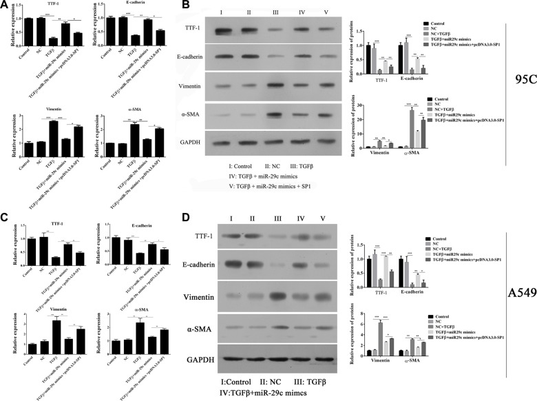Overexpression of Sp1 impairs miR-29c-induced inhibition of EMT The mRNA and protein expression of TGF-β1-induced EMT-associated markers including TTF, E-cadherin, vimentin and α-SMA were analyzed in ( A – B ) 95C and ( C – D ) A549 cells with ectopically expressing miR-29c mimics or pcDNA-Sp1. * p