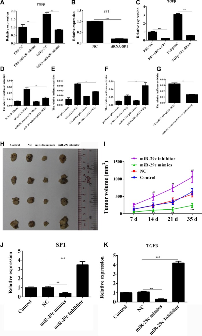 MiR-29c could inhibit Sp1/TGF-β1 expression and lung cancer progression ( A ) The TGF-β1 expression in overexpression of miR-29c mimics or negative control was analyzed by Q-PCR in 95C cells with or without the treatment of TGF-β1. ( B – C ) The TGF-β1 expression in overexpression of siRNA-Sp1or negative control was analyzed by Q-PCR in 95C cells with or without the treatment of TGF-β1. ( D ) The relative luciferase activities in 95C cells were determined after the pGL-3-TGFB1 plasmids were transfected with miR-29c mimics. ( E – F ) The relative luciferase activities in 95C cells were determined after the pGL-3-TGFB1 plasmids were transfected with siRNA-Sp1 or pcDNA-Sp1. ( G ) The relative luciferase activities in 95C cells were determined after the pGL-3-TGFB1 plasmids were transfected with pcDNA-Sp1 and miR-29c mimics. ( H – I ) Nude mice (6 per group) were subcutaneously injected of 3 × 10 6 A549 cells and the miR-29c mimics, inhibitor or negative control (10 nM per injection) were delivered via intra-tumoral injection for six times, three days apart. The tumor volume (mm 3 ) and body weight (g) were measured. ( J – K ) The levelS of Sp1 and TGF-β1 in tumor tissues were estimated. * p