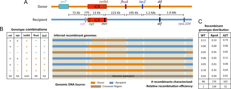 Distribution of genomic exchanges in recombinants. (A) Diagram of markers that distinguish the donor and recipient genomes and distances from the selected tetRA cassette. The chromosome segregation site dif is also shown. ICR, restriction enzyme gene cluster known as the immigration control region. (B) Recombinants were screened for the cat , npt , mrr , fhuA , and lacZ markers. Recombinants containing both tetRA and mrr were classified as having genome additions, and the results for these recombinants are not shown. Horizontal bars indicate the extent of donor DNA (orange) that we inferred replaced the recipient genome (blue) during the recombination event. NA, not available. (C) Proportion of recombinants in each class from a basal mating (WT; ER3435 × ER3473) with or without AZT treatment or from a mating in which rpnA was overexpressed (RpnA; ER3435 × ER3514). For the WT, most recombinants were created by large replacements of over 400 kb of genomic DNA. In the RpnA and AZT matings, large replacements were less frequent, and over half of the genomic replacements were within the 236-kb segment between the npt and fhuA markers flanking the selected marker, tetRA .