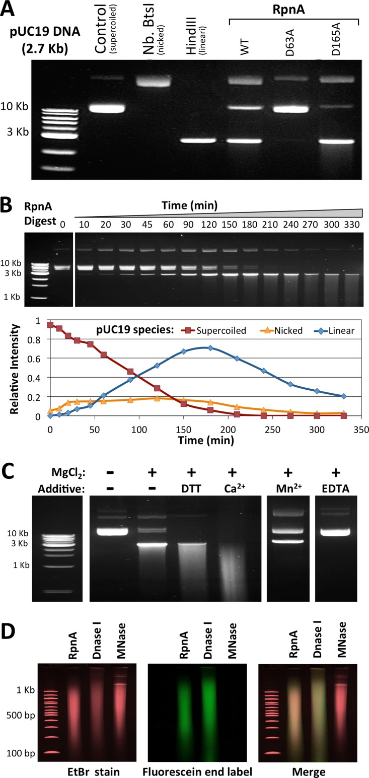 In vitro analysis of RpnA endonuclease activity. (A) WT RpnA cleaves pUC19, RpnA-D63A does not cleave pUC19, and RpnA-D165A is more active on pUC19. The pUC19 DNA (29 nM, 50 μg/ml) is initially supercoiled but can be relaxed by nicks, linearized by double-strand cleavage, or cleaved further. The supercoiled (control), relaxed (Nb.BtsI), and linear (HindIII) forms are indicated. pUC19 was treated with RpnA-inactive RpnA-D63A or hyperactive RpnA-D165A (15 μM, 45 min). (B) Time course of an RpnA (7.5 μM)-pUC19 (29 nM) digest. Band intensity was compared to determine the relative amounts of supercoiled, nicked, and linear pUC19 at each time point. Over 90% of the supercoiled pUC19 was digested within 180 min. (C) RpnA endonuclease activity depends on divalent cation and is stimulated by Ca 2+ . The reaction buffer was 50 mM NaCl and 10 mM Tris, pH 8.0; the indicated additives were at 10 mM each. RpnA at 3.8 μM was added for 18 h. (D) RpnA cleavage products provide a DNA polymerase primer. pUC19 was digested with RpnA, DNase I, or micrococcal nuclease (MNase) to produce similar smears and then incubated with fluorescein-labeled dNTPs and the Klenow fragment of DNA polymerase. DNA was visualized by ethidium bromide (EtBr; left) or fluorescein (middle), with the two signals being merged at the right. RpnA- and DNase I-digested DNAs were effectively labeled, but micrococcal nuclease-digested DNA was not.