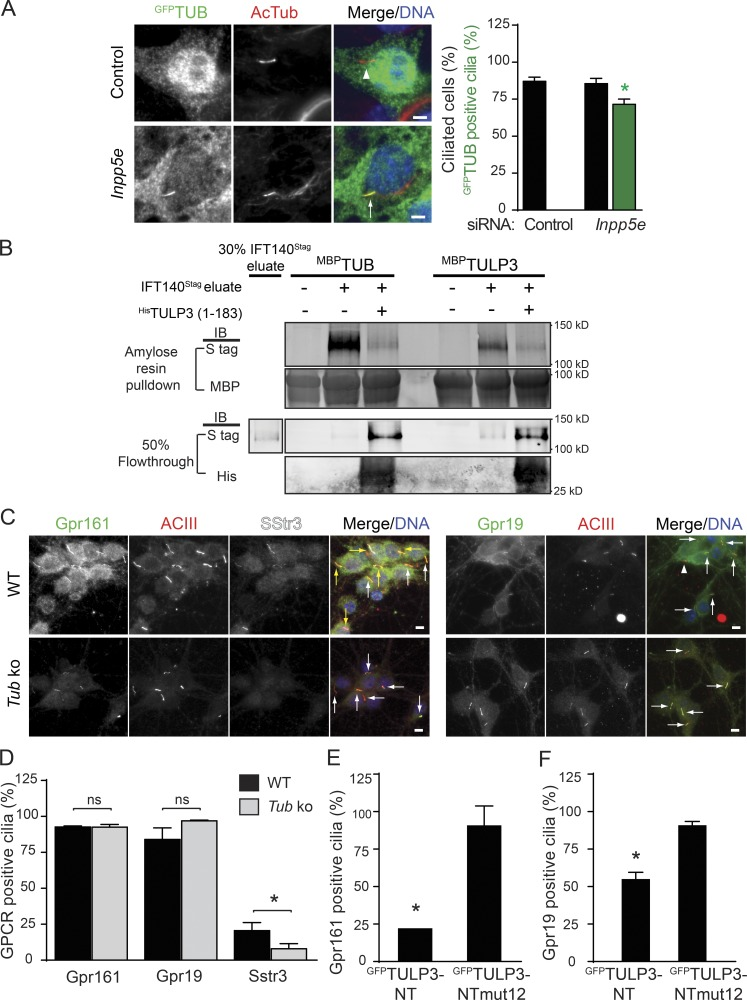 Differential effects of Tub on ciliary GPCR trafficking. (A) IMCD3 Flp-In cells stably expressing LAP–TUB isoform b ( Mukhopadhyay et al., 2010 ) were sequentially transfected with 200 nM of the indicated siRNAs twice for 72 h (see Materials and methods) and serum starved for the last 24 h before fixation and immunostained for GFP, acetylated tubulin, and DNA. GFP-positive cilia were counted in two experiments, and total counted cells are > 400/condition. Data represent means ± SD. Bars, 5 µm. (B) MBP TUB isoform b and MBP TULP3 immobilized on amylose resin were incubated with PreScission eluates from IFT140 LAP RPE cells ± His TULP3 (1–183 aa; see Materials and methods; Mukhopadhyay et al., 2010 ). LAP, S tag–PreScission-GFP. MBP TUB- and MBP TULP3-bound proteins and corresponding flowthroughs were immunoblotted for S tag (IFT140 S tag ), maltose-binding protein (MBP), and His-tag as indicated. Data are representative of two experiments. (C and D) Embryonic day 16.5, day in vitro (DIV) 8 hippocampal neurons from wild-type (WT) and Tub mice were immunostained for Gpr161/Gpr19 (green), DyLight594-labeled <t>ACIII</t> (red), and <t>Sstr3</t> (white; C). Gpr161/Gpr19-positive and -negative cilia are marked by arrows (A and C) and arrowheads (C), respectively. Gpr161/Sstr3 coexpressing cells are marked by yellow arrows. The red dot indicates debris under the coverslip. Data represents means ± SD from cultures of two different embryos belonging to each genotype. Total counted cells are > 300 per condition for Gpr161/Sstr3 and > 90 per condition for Gpr19. Bars, 5 µm. Ciliary lengths are 3.2 ± 0.1 µm (wild type) and 3.5 ± 0.1 µm ( Tub ) neurons in experiments with Gpr161 staining and 3.7 ± 0.9 µm (wild type) and 3.5 ± 0.8 µm ( Tub ) in experiments with Gpr19 staining. Data represent means ± SD. n > 50 each. (E) Embryonic day 16.5 DIV5 hippocampal neurons from wild-type mice were transfected with indicated GFP-tagged N terminus (NT) wild-type or non–IFT-A binding ( mut12 )