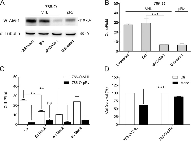 Role of VCAM-1/α4β1 binding in monocyte adhesion to ccRCC. (A) Analysis of VCAM-1 protein levels in 786-O-pRv or 786-O-VHL cells untreated or transfected with a scrambled siRNA (Scr) or siRNAs specific for VCAM-1. α-Tubulin was used as a loading control. A Western blot representative of three experiments is shown. (B) U937–calcein-AM–labeled cell adhesion on 786-O-pRv or 786-O-VHL cells untreated or transfected with a scrambled siRNA or siRNAs specific for VCAM-1. Cell adhesion was performed for 20 min at 37°C, and afterward, fluorescent cells were counted under the microscope. n = 5. (C) U937–calcein-AM–labeled adhesion experiment on 786-O-pRv or 786-O-VHL untreated (control [Ctr]) or treated with 10 µg/ml of blocking antibodies against β1, α4, or αL integrin subunits. Cell adhesion was performed for 20 min at 37°C, and afterward, fluorescent cells were counted under the microscope. n = 4. (B and C) Data are represented as number of cells ± SEM. 10 random fields were analyzed per condition. Statistical analysis was done using two-way ANOVA followed by Bonferroni's posthoc test. (D) Effects of VHL loss in monocytic cell-mediated cytotoxicity against ccRCC cells. 786-O-pRv or 786-O-VHL target cells were seeded into 16-well sensor plates, and activated human monocytes treated with IFN-γ and LPS were directly added into wells at a 60:1 ratio, monocytes (Mono)/ccRCCs. Cell survival measurements were automatically collected every 5 min by the real-time cell electronic-sensing analyzer system (xCELLigence System) for up to 96 h. Cellular index results were expressed as cell survival percentage mean ± SEM at 96 h. Data are representative of three different experiments. Statistical analysis between different conditions was done using two-way ANOVA followed by Bonferroni's posthoc test. **, P