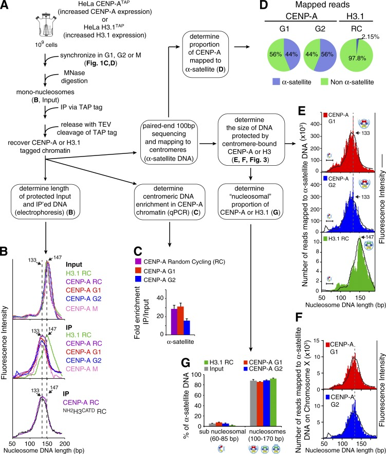 High-throughput sequencing and mapping to α-satellite DNA reveals that centromeric CENP-A chromatin is an octameric nucleosome with transient DNA unwrapping of the DNA entry and exit sites at G1, G2, and mitosis. (A) Experimental design for obtaining CENP-A TAP – and H3.1 TAP -bound DNA sequences. (B) Microcapillary electrophoresis of MNase-digested bulk input mononucleosomes (top) and CENP-A TAP or H3.1 TAP or NH2 H3 CATD native ChIP (middle and bottom, immunoprecipitation). Purified CENP-A chromatin is nucleosome-like but protects a shorter DNA length than does H3.1-containing nucleosomes. (C) Quantitative real-time PCR for α-satellite DNA extracted from CENP-A TAP chromatin in random cycling (RC; magenta), G1 (red), and G2 (blue). n = 2 from two independent replicates. Error bars represent SEM. (D) CENP-A TAP – and H3.1 TAP -bound DNA was sequenced using paired-end 100-bp ChIP sequencing and then mapped to the human genome 38 assembly (hg38), which contains α-satellite sequence models for each centromere. Approximately 50% of CENP-A TAP –bound DNA is centromeric at G1 and G2. (E) CENP-A TAP –bound DNA sequences that mapped to α-satellite DNA were analyzed for their nucleosomal DNA length and overlaid on the microcapillary electrophoresis data (black line) shown in B. (F) CENP-A TAP –bound DNA sequences that mapped to α-satellite DNA on chromosome X were analyzed for their nucleosomal DNA length and overlaid on the microcapillary electrophoresis data (black line) shown in B. (G) Distribution of the chromatin DNA lengths into two length bins: subnucleosomal (60–85 bp, as predicted for tetrasomes and hemisomes; Hasson et al., 2013 ) and nucleosomal (100–170 bp) for bulk input chromatin and affinity-purified CENP-A TAP and H3.1 TAP chromatin mapped to α-satellite DNA. n = 2 from two independent replicates. Error bars represent SEM.