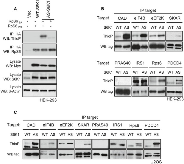 Validation of analogue‐specific S6K1 mutation Myc‐WT‐S6K1 and myc‐AS‐S6K1 were transfected in HEK293 cells with HA‐RpS6WT or HA‐RpS65A. In vivo kinase assay was performed in the presence of 6‐Bn‐ATP‐γ‐S. After immunoprecipitation using an anti‐HA antibody, the thiophosphorylation of RpS6 was revealed by Western blot using an anti‐thiophosphate ester antibody. Expression level of myc‐WT‐S6K1 and myc‐AS‐S6K1 or total S6K1 was revealed by Western blot on total extracts using the indicated antibody. HEK293 or U2OS cells stably expressing myc‐WT‐S6K1 (WT) or myc‐AS‐S6K1 (AS) were transfected with tagged forms of S6K1 substrates (CAD, eIF4B, eEF2K, SKAR, IRS1, RpS6, PDCD4) or PRAS40. In vivo kinase assay was performed in the presence of 6‐Bn‐ATP‐γ‐S. After immunoprecipitation, the thiophosphorylation was revealed by Western blot using an anti‐thiophosphate ester antibody. * indicates unspecific band.