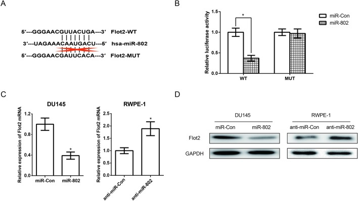 miR-802 suppresses Flot2 expression by targeting the 3′-UTR of Flot2 mRNA ( A ) The seed sequences for miR-802 in the 3′-UTR of Flot2 revealed by TargetScan analysis. ( B ) Luciferase reporter assay was performed 48 h after co-transfection in DU145 cells with Wt Flot2 or Mut Flot2 vectors together with miR-802 or negative control. ( C ) qRT-PCR revealed the effects of miR-802 mimics and miR-802 inhibitor on the expression level of Flot2 mRNA. ( D ) Western blot analysis revealed the effects of miR-802 mimics and miR-802 inhibitor on the expression level of Flot2 protein. Data are presented as mean ± S.D. from at least three independent experiments. Statistical significance was determined by a two-tailed Student's t test: * P