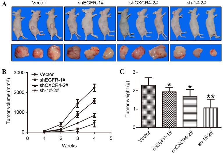 Downregulation of CXCR4 and/or EGFR by shRNA in MDA-MB-231 cells inhibits xenograft tumor growth in mouse models. (A) A total of 2×10 6 stably transduced MDA-MB-231 cells were implanted into the right legs of nude mice. The mice (n=3 per group) were observed for 4 weeks. (B) Tumors were measured every week with external calipers and tumor volume was calculated according to the following formula: Volume = 0.5 × a 2 × b, where 'a' is the smallest superficial diameter and 'b' is the largest superficial diameter. (C) After 4 weeks, the tumors were excised and weighed. *P