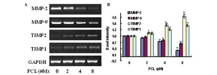 Effects of FCL on the expression of MMP-2, MMP-9, TIMP1 and TIMP2 mRNAs. (A) Gastric cancer cells were treated with or without FCL (2–8 µM) for 24 h. Total RNA was isolated, and reverse transcription-polymerase chain reaction was performed to detect the expression of MMP-2, MMP-9, TIMP1 and TIMP2 mRNAs. (B) The densitometry of the bands was normalized to the expression of GAPDH and analyzed. *P