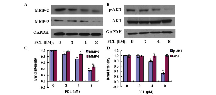 Effects of FCL on the expression of MMP-2/MMP-9 and phosphorylation of AKT in gastric cancer cells. (A) Cells were treated with or without FCL (0–8 µM) for 24 h. Total protein was extracted, and western blotting was performed to assess the expression of MMP-2 and MMP-9 proteins. (B) Western blotting was performed to assess the expression of p-AKT and AKT proteins. (C and D) The densitometry of the bands was normalized to the expression of GAPDH and analyzed. *P