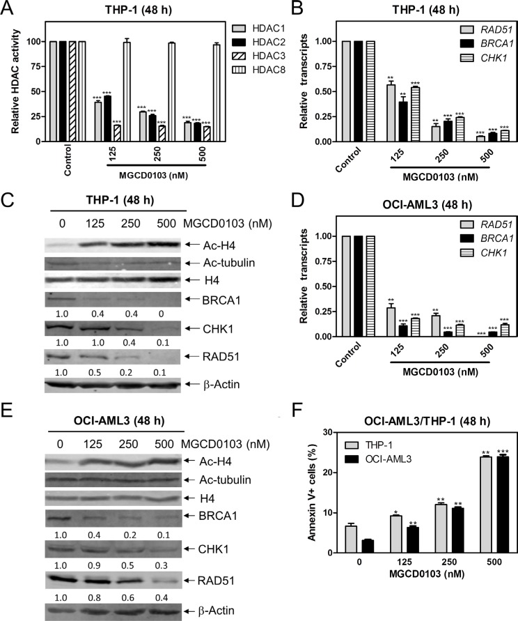 Inhibition of HDACs 1, 2, and 3 decreases the protein and transcript levels of BRCA1, CHK1, and RAD51, and induces apoptosis in AML cell lines ( A ) THP-1 cells were treated with variable concentrations of MGCD0103 for 48 h. Protein extracts were subjected to immunoprecipitation with antibodies against class I HDACs and then class I HDAC activities were measured, as described in the Materials and Methods. ( B ) THP-1 cells were treated with MGCD0103 for 48 h. Then total RNAs were isolated and gene transcript levels were determined by Real-time RT-PCR. Transcript levels were normalized to GAPDH and relative expression levels were calculated using the comparative Ct method. ( C ) THP-1 cells were treated with MGCD0103 for 48 h. Whole cell lysates were subjected to Western blotting and probed with the indicated antibodies. The fold changes for the densitometry measurements, normalized to β-actin and then compared to no drug treatment control, are indicated. ( D ) OCI-AML3 cells were treated with MGCD0103 for 48 h, then total RNAs were isolated from treated cells and gene transcript levels were determined by Real-time RT-PCR. Transcript levels were normalized to GAPDH and relative expression levels were calculated using the comparative Ct method. ( E ) OCI-AML3 cells were treated with MGCD0103 for 48 h. Whole cell lysates were subjected to Western blotting and probed with the indicated antibodies. ( F ) THP-1 and OCI-AML3 cells were treated with MGCD0103 for 48 h and then subjected to Annexin V-FITC/PI staining and flow cytometry analysis. *indicates p